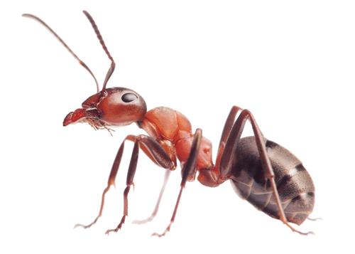 Ants Pest Control in Las Vegas