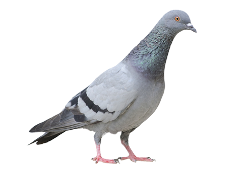 How to Get Rid of Pigeons forecast
