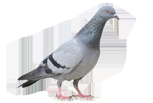 Las Vegas Pigeon Removal