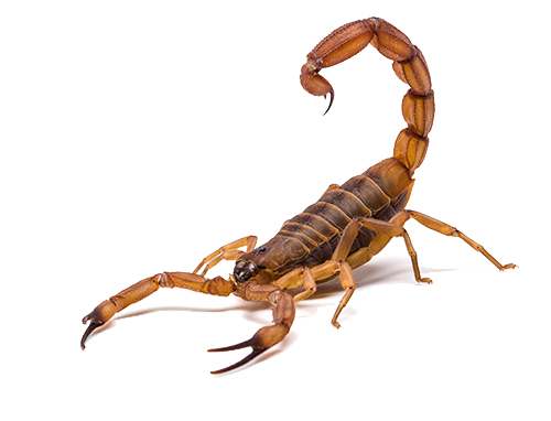 Scorpion Pest Control in Las Vegas