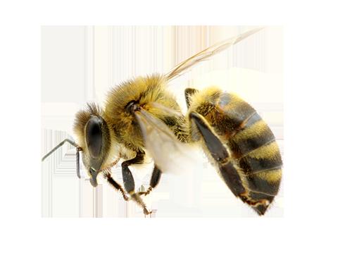 Bee Removal in Las Vegas